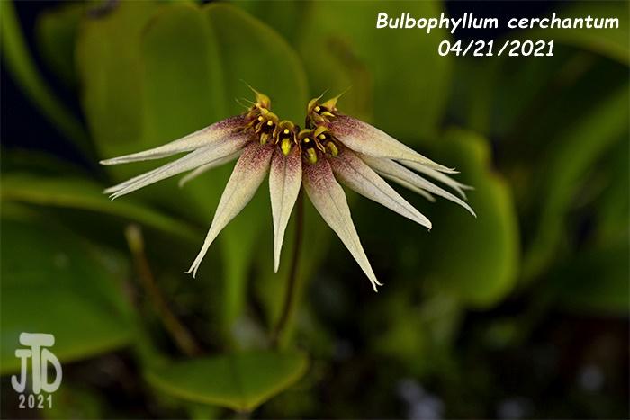 Name:  Bulbophyllum cerchantum3 04212021jpg.jpg Views: 46 Size:  111.0 KB