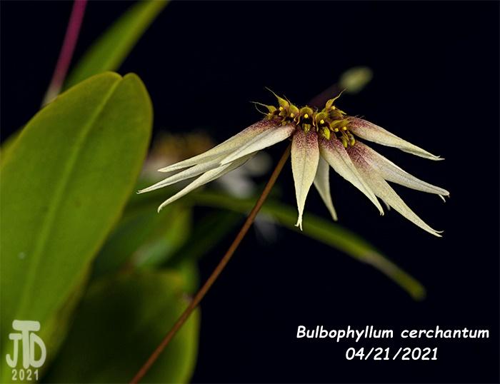 Name:  Bulbophyllum cerchantum5 04212021jpg.jpg Views: 46 Size:  86.1 KB