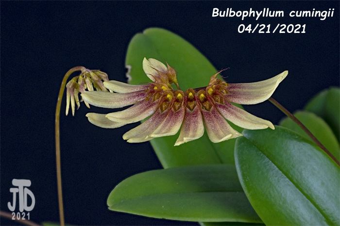 Name:  Bulbophyllum cumingii5 04212021.jpg