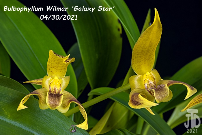 Name:  Bulbophyllum Wilmar 'Galaxy Star'5 04302021.jpg Views: 28 Size:  122.3 KB