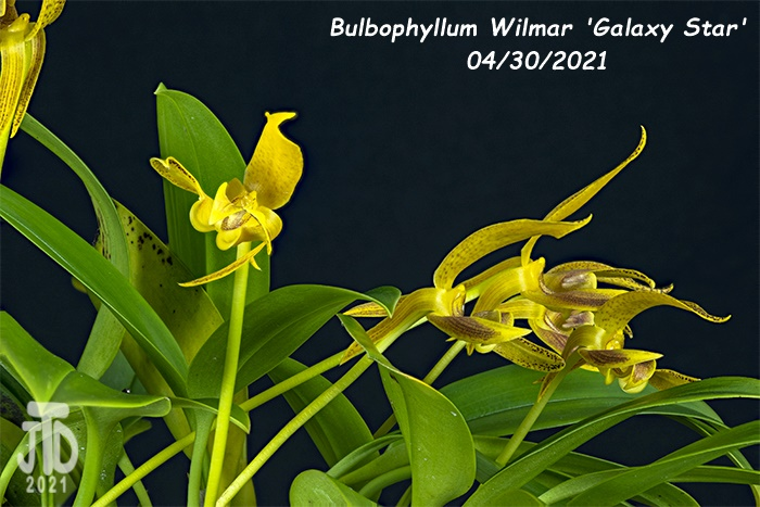 Name:  Bulbophyllum Wilmar 'Galaxy Star'2 04302021.jpg Views: 27 Size:  141.7 KB