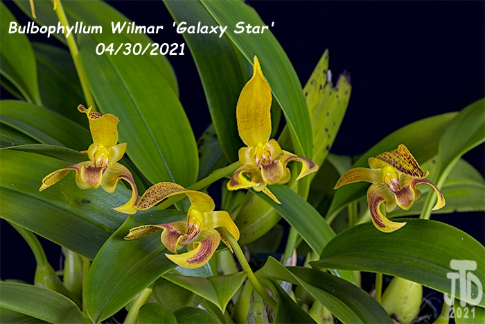 Name:  Bulbophyllum Wilmar 'Galaxy Star'3 04302021.jpg Views: 24 Size:  139.0 KB