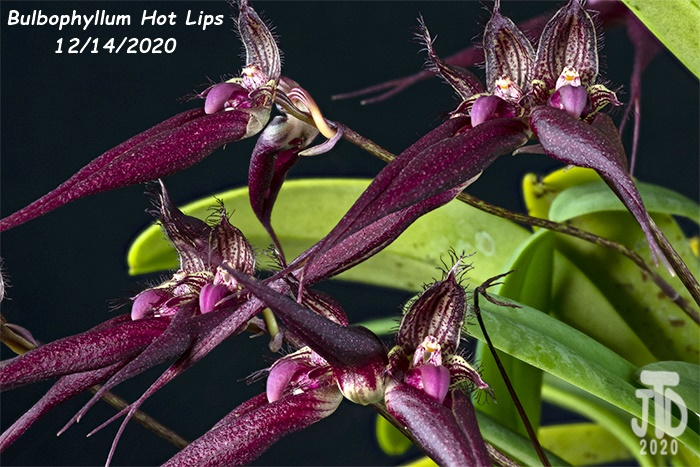 Name:  Bulbophyllum Hot Lips1 12142020.jpg