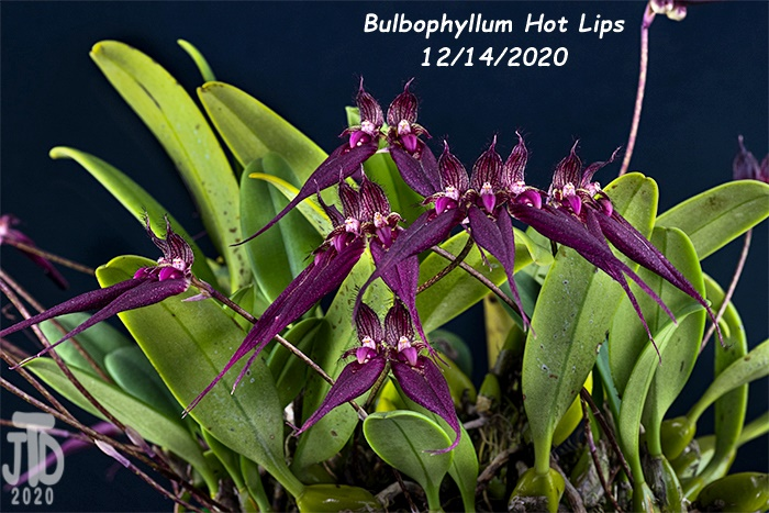 Name:  Bulbophyllum Hot Lips2 12142020.jpg