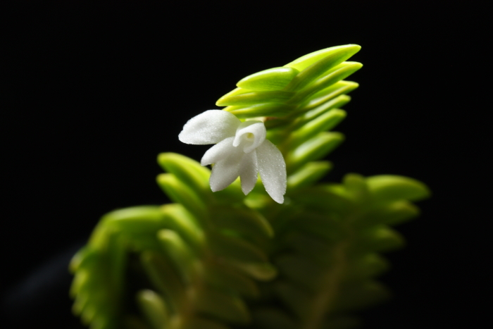Name:  angraecum distichum2.jpg Views: 65 Size:  178.1 KB