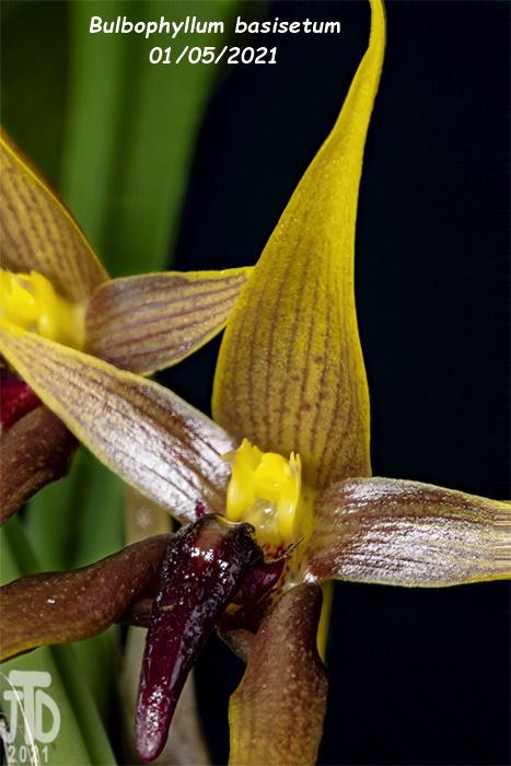 Name:  Bulbophyllum basisetum5 01052021.jpg Views: 59 Size:  164.4 KB