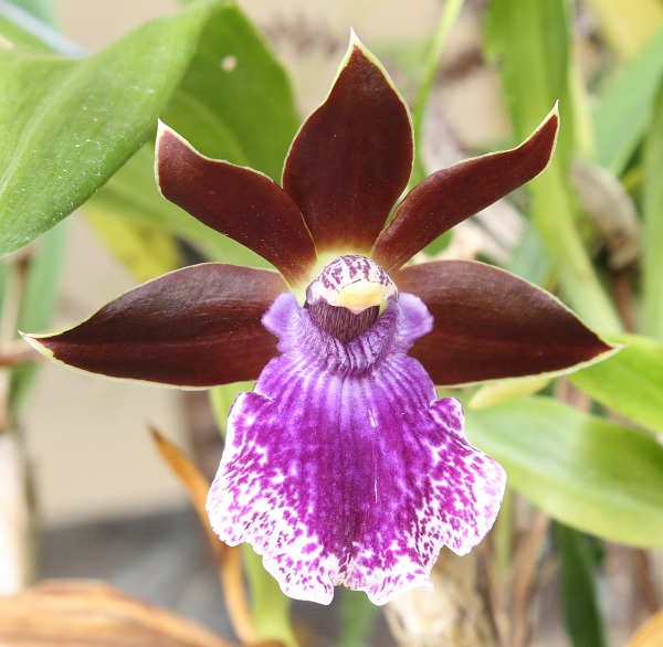Name:  Zygopetalum_Debbie-DeMello_'Honolulu-Baby'_crop6x6.jpg