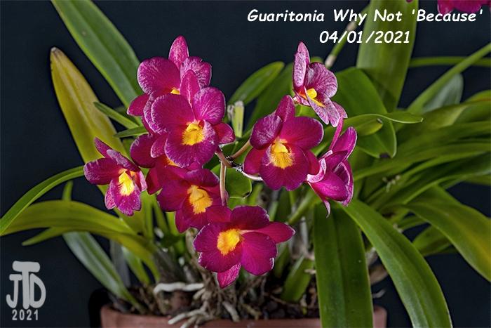 Name:  Guaritonia Why Not 'Because'3 03312021.jpg Views: 52 Size:  315.4 KB