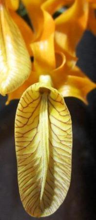 Name:  Dendrobium unicum lip.jpg Views: 300 Size:  14.2 KB