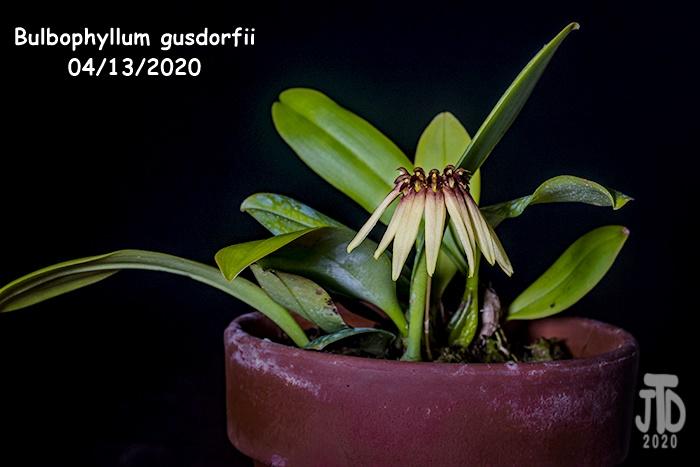 Name:  Bulbophyllum gusdorfii1 04132020.jpg Views: 86 Size:  103.6 KB