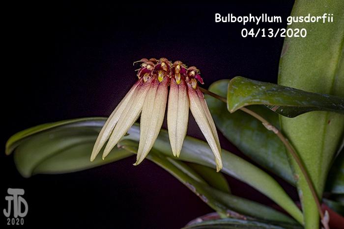 Name:  Bulbophyllum gusdorfii3 04132020.jpg Views: 90 Size:  108.5 KB