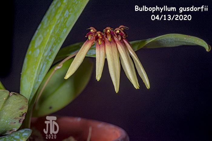 Name:  Bulbophyllum gusdorfii5 04132020.jpg Views: 86 Size:  144.6 KB