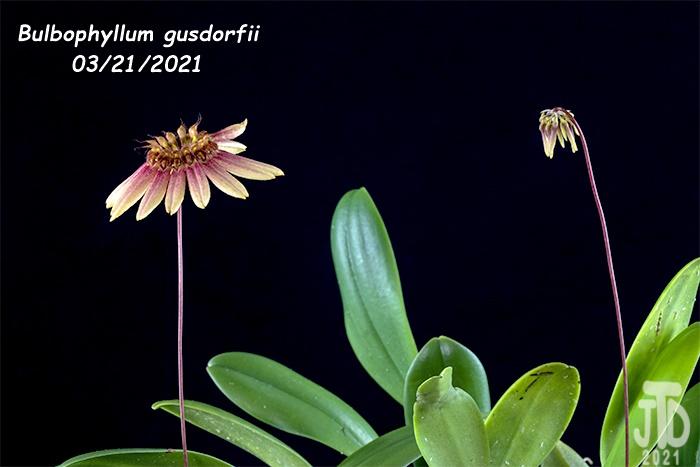 Name:  Bulbophyllum gusdorfii3 03212021.jpg Views: 44 Size:  91.0 KB