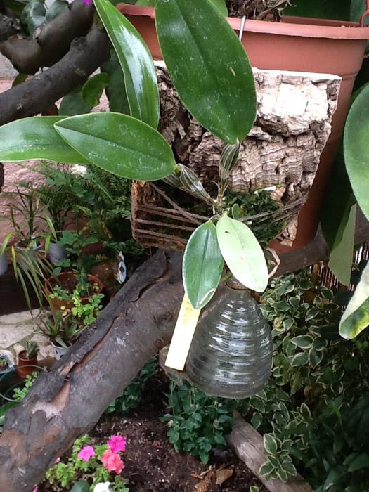 Name:  Dendrobium densiflorum2.jpg Views: 547 Size:  177.9 KB