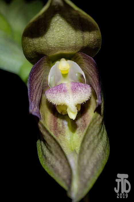 Name:  Bulbophyllum mandibulare2 11232019.jpg Views: 50 Size:  128.4 KB