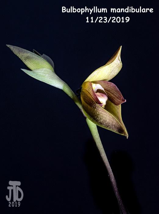 Name:  Bulbophyllum mandibulare3 11232019.jpg Views: 42 Size:  144.9 KB