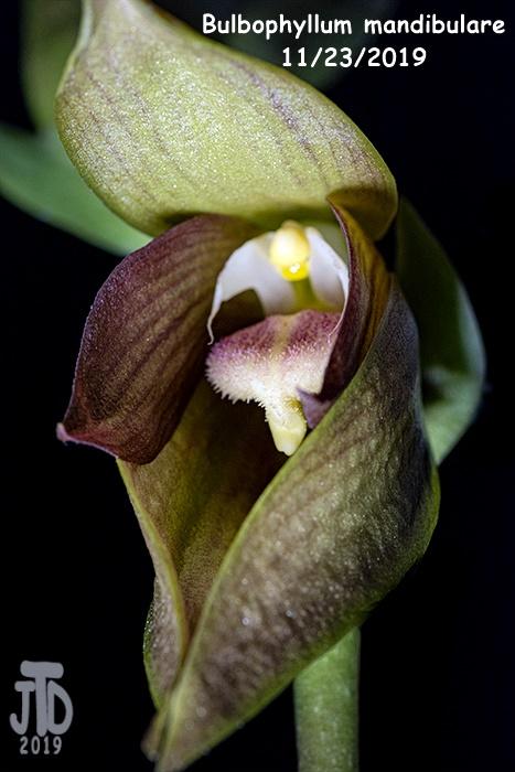Name:  Bulbophyllum mandibulare4 11232019.jpg Views: 42 Size:  164.4 KB