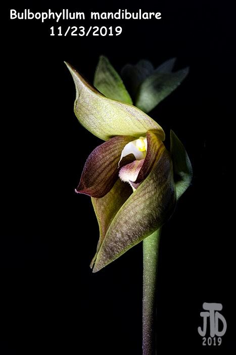 Name:  Bulbophyllum mandibulare5 11232019.jpg Views: 41 Size:  124.5 KB