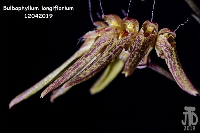 Name:  Bulbophyllum longiflorium2 12042019.jpg Views: 69 Size:  93.4 KB