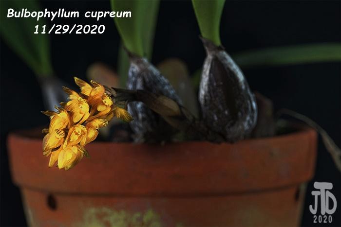 Name:  Bulbophyllum cupreum2 11292020.jpg Views: 91 Size:  73.2 KB