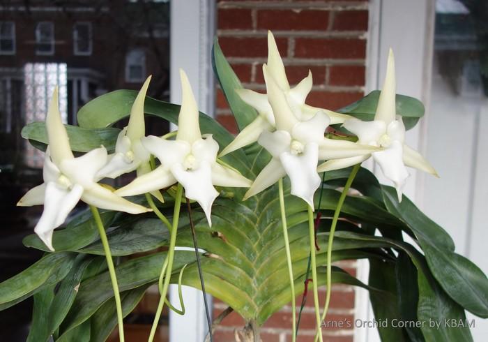 Name:  Angraecum sesquipedale Jan2021a_C.JPG Views: 93 Size:  134.3 KB