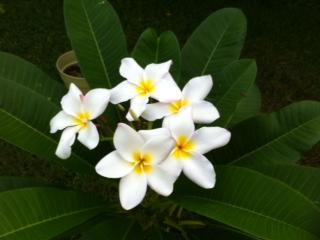 Name:  Plumeria.jpg Views: 229 Size:  33.0 KB