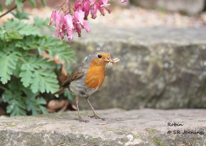Name:  robin may copy (700x495).jpg Views: 188 Size:  191.6 KB