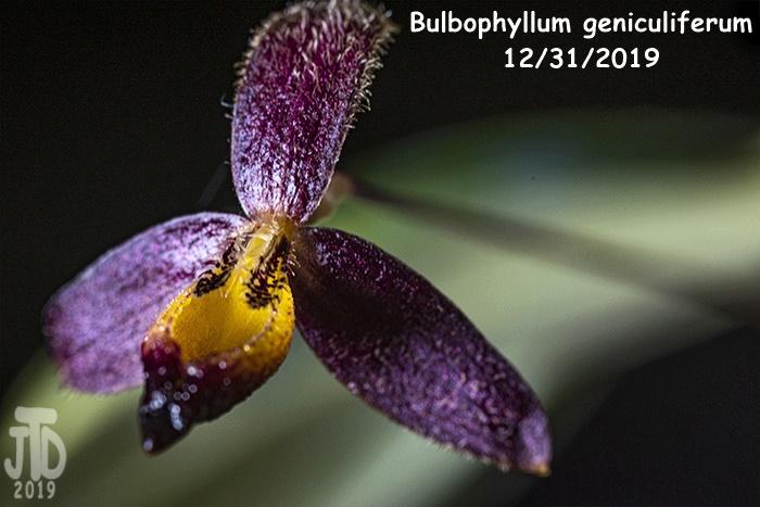 Name:  Bulbophyllum geniculiferum2 12312019.jpg Views: 76 Size:  128.6 KB