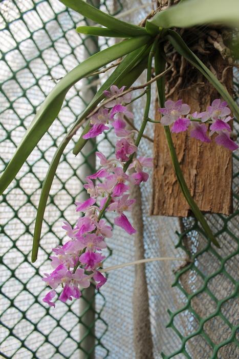Name:  Aerides maculosa2.JPG Views: 198 Size:  255.9 KB