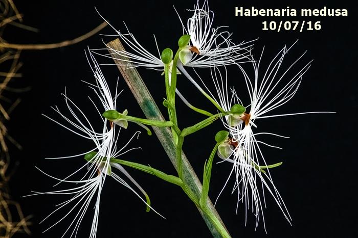Name:  Habenaria medusa 300mm.jpg Views: 297 Size:  275.2 KB