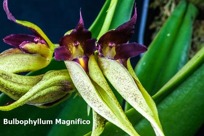 Name:  Bulbophyllum Magnifico 300mm.jpg Views: 569 Size:  285.1 KB