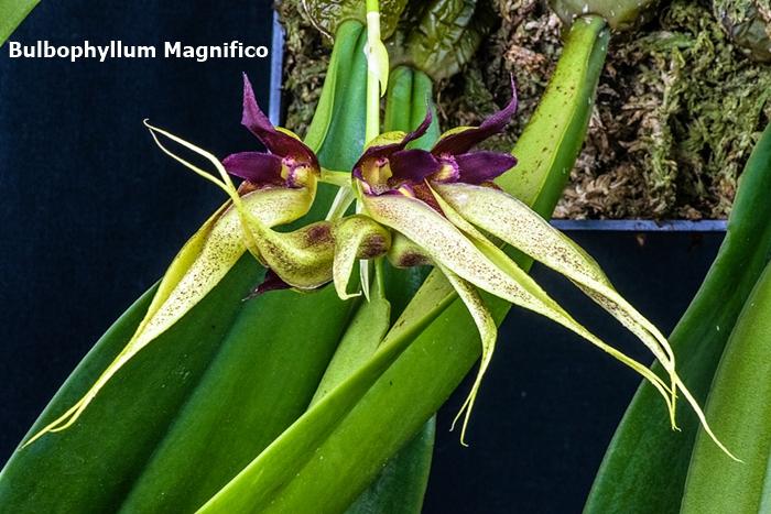 Name:  Bulbophyllum Magnifico 185mm.jpg Views: 315 Size:  316.5 KB