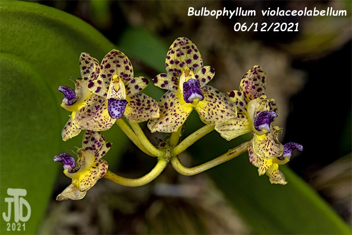 Name:  Bulbophyllum violaceolabellum1 06112021.jpg Views: 110 Size:  137.7 KB