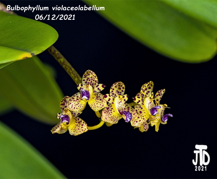 Name:  Bulbophyllum violaceolabellum2 06112021.jpg Views: 96 Size:  122.5 KB