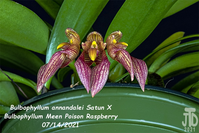 Name:  Bulbophyllum annandalei Satun X Bulbo. Meen Poison Raspberry5 08142021.jpg Views: 31 Size:  154.9 KB