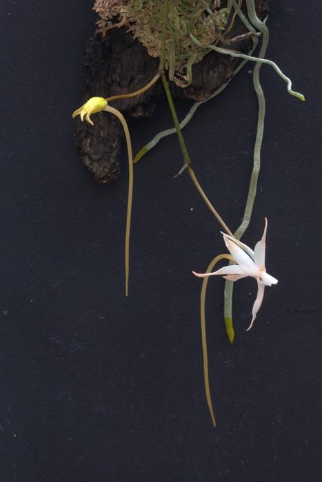 Name:  Aerangis arachnopus 1-3.jpg Views: 558 Size:  84.8 KB