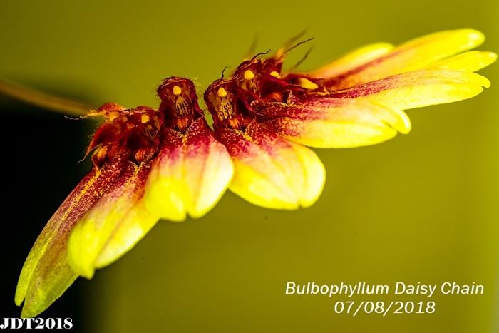 Name:  Bulbophyllum Daisy Chain3 100mm 070818.jpg Views: 185 Size:  219.7 KB