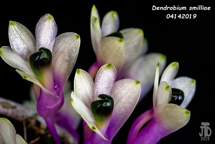 Name:  Dendrobium smilliae5 04142019.jpg Views: 111 Size:  243.8 KB