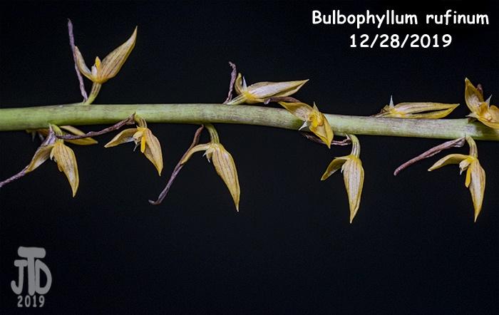 Name:  Bulbophyllum rufinum2 12282019.jpg Views: 47 Size:  121.7 KB