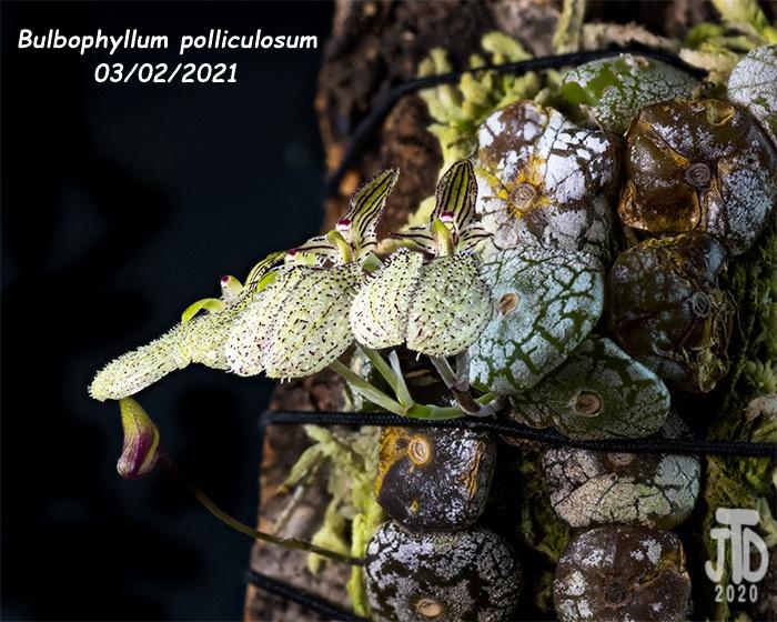 Name:  Bulbophyllum polliculosum4 03022021.jpg Views: 60 Size:  190.6 KB
