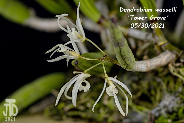 Name:  Dendrobium wassellii 'Tower Grove'1 05302021.jpg Views: 87 Size:  112.7 KB