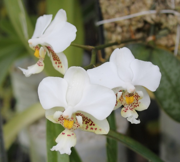 Name:  Phalaenopsis_stuartiana_crop6x6.jpg Views: 41 Size:  65.7 KB