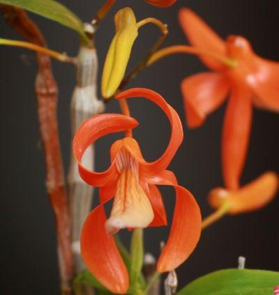 Name:  Dendrobium unicum May 2011 01.jpg Views: 485 Size:  19.8 KB