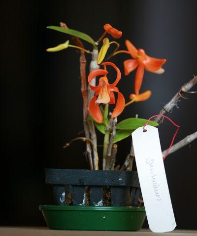 Name:  Dendrobium unicum May 2011 02.jpg Views: 582 Size:  20.4 KB