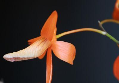 Name:  Dendrobium unicum May 2011 03.jpg Views: 300 Size:  8.8 KB