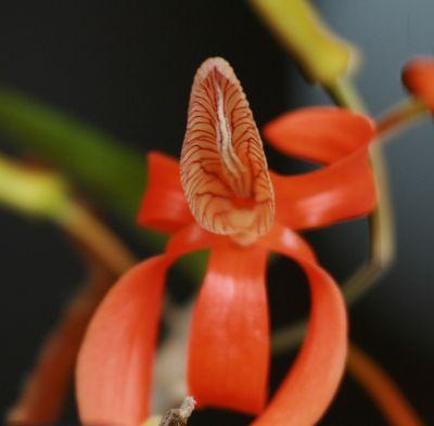 Name:  Dendrobium unicum May 2011 04.jpg Views: 413 Size:  15.1 KB
