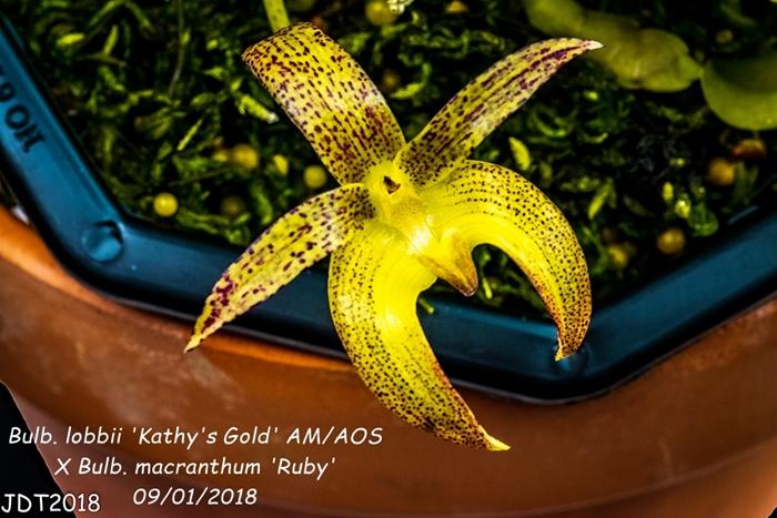 Name:  Bulb. lobbii 'Kathy's Gold' AM-AOS X Bulb. macranthum 'Ruby'3 100mm 09-01-2018.jpg Views: 121 Size:  280.9 KB