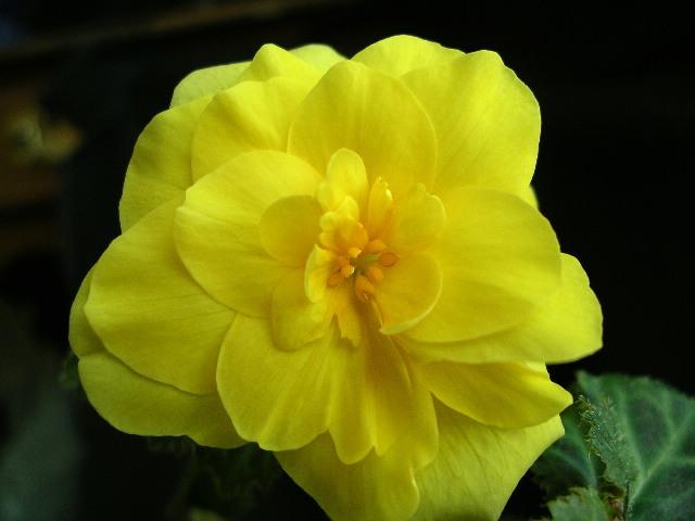 Name:  begonia yellow flower.JPG Views: 4328 Size:  70.3 KB