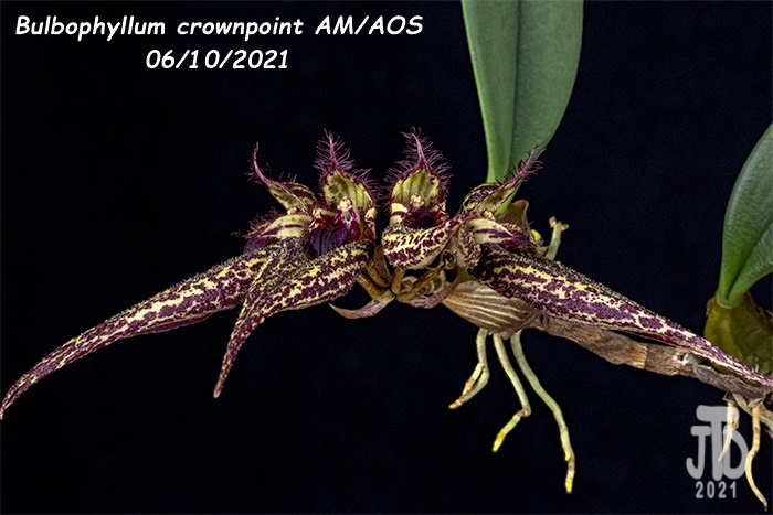 Name:  Bulbophyllum crownpoint AMAOS1 06102021.jpg Views: 39 Size:  127.8 KB