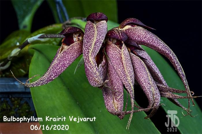 Name:  Bulbophyllum Krairit Vejvarut5 06162020.jpg Views: 75 Size:  174.0 KB